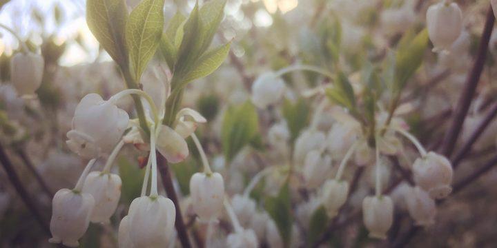 ドウダンツツジ,春,4月